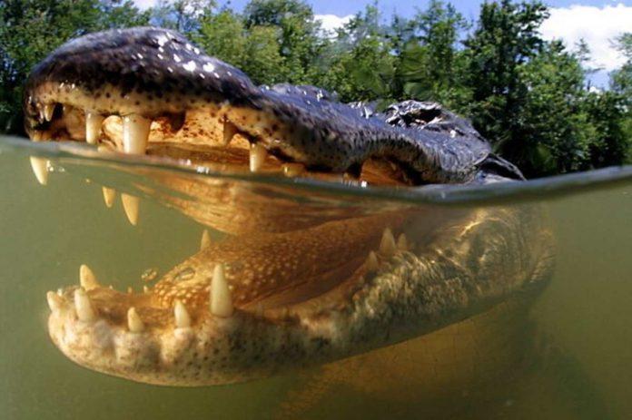 alligatori dottoressa