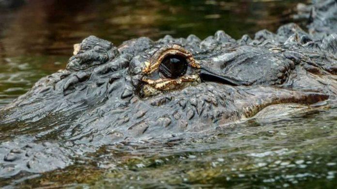 evoluzione coccodrilli sopravvissuti dinosauri