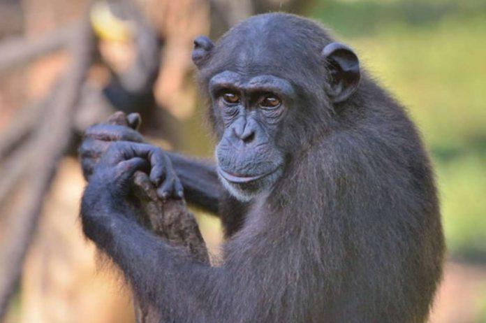 scimpanzè patogeno