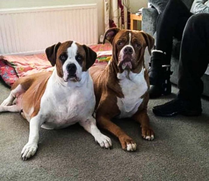 bulldog sbrana madre lite figlia