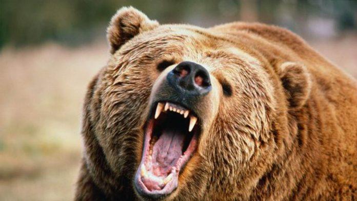 orso nella foresta