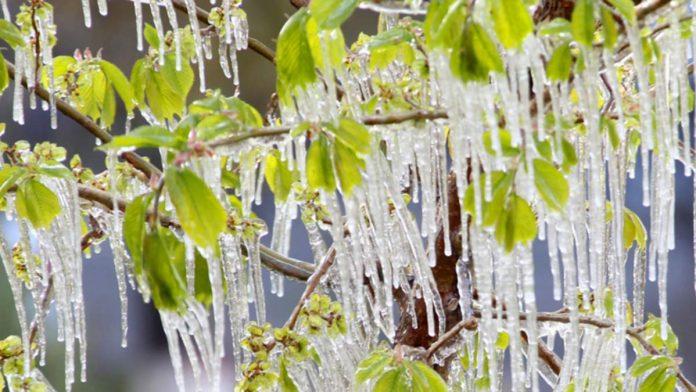 il gelo sulle piante verdi