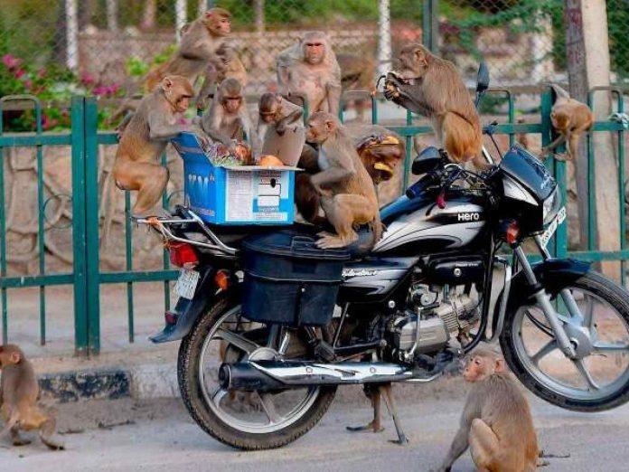 scimmie ladre india