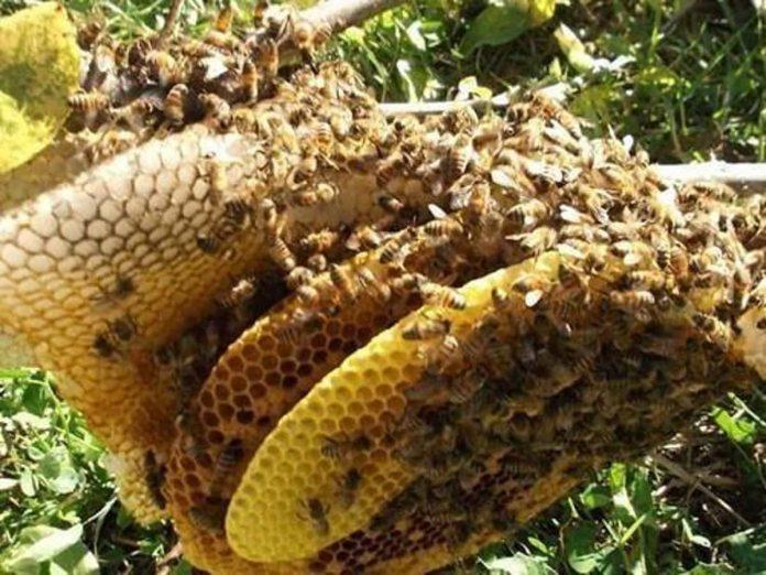 """Apicoltore ucciso da uno sciame di """"Api da miele africanizzate"""", particolarmente violente"""