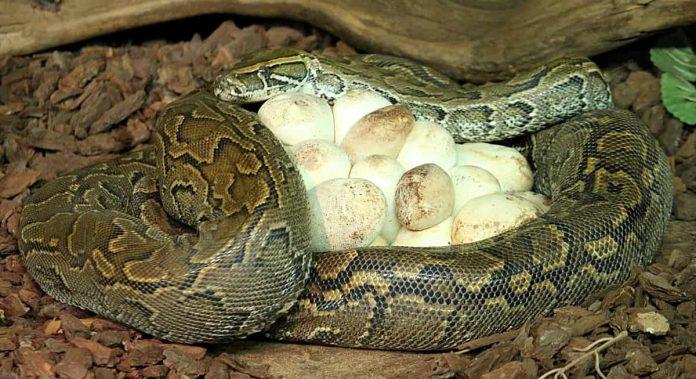 madre protegge uova