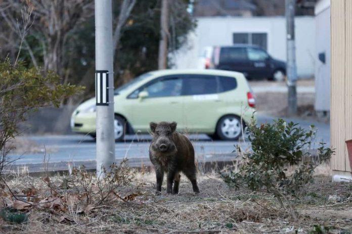 Cinghiale a Fukushima