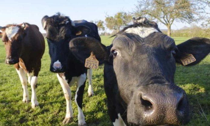 Mucche vs plastica