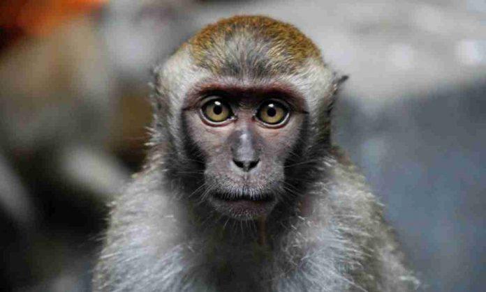 vaiolo scimmie