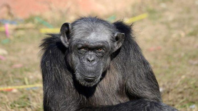 judy scimpanze