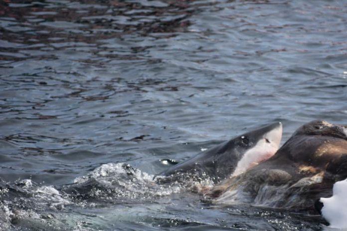squalo mangia carcassa balena