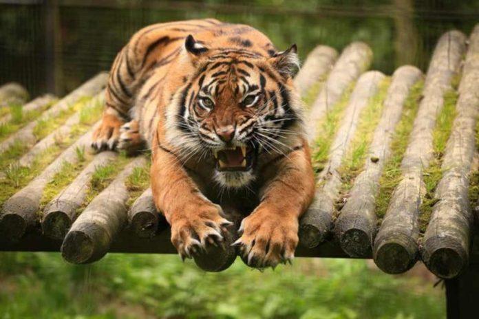 tigre safari donna sbranata