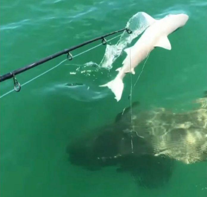 squalo cernia golia florida pescatori